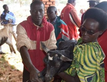 Mwaro : 600 caprins distribués aux plus vulnérables par la Croix-Rouge du Burundi